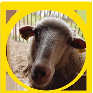 animaux de la ferme portrait du mouton